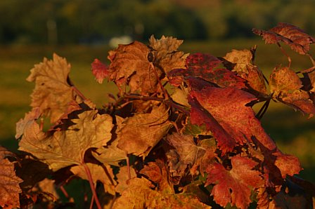 Vineyard-fall-3
